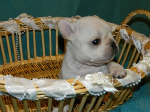 French Bulldog puppy sired by RELENTLESS GUARDIAN OF DAYSTAR