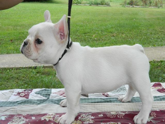 cream female french bulldog puppy for sale