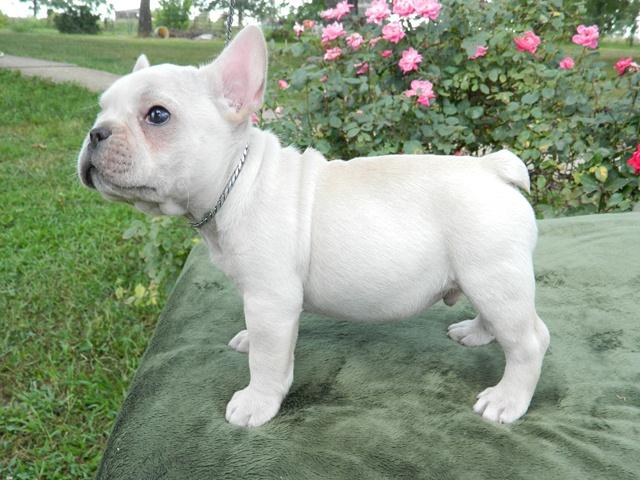 Cream french bulldog puppy for sale